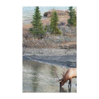 Blue Elk, Rocky Mountain Canvas Print