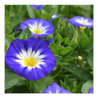 Blue Ensign Morning Glory Flowers Invitations