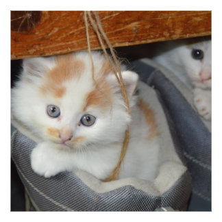 Blue Eyed, Brown and White patched Kitten in boot Photo Art