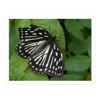 blue eyed butterfly postcards
