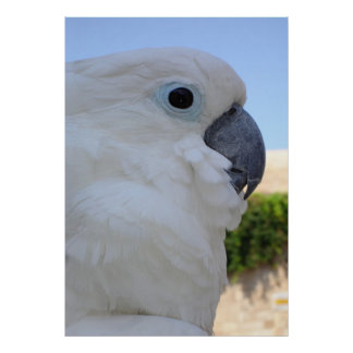 Blue Eyed Cockatoo Poster