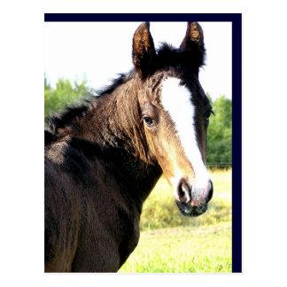 Blue-eyed Colt Postcards
