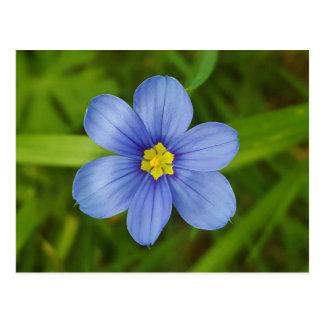 blue-eyed-grass postcard