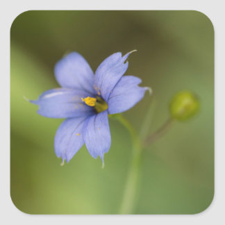 Blue Eyed Grass Wildflower Floral Square Stickers