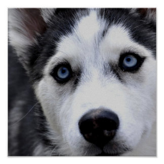 Blue Eyed Husky Poster