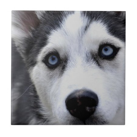 Blue Eyed Husky Tile