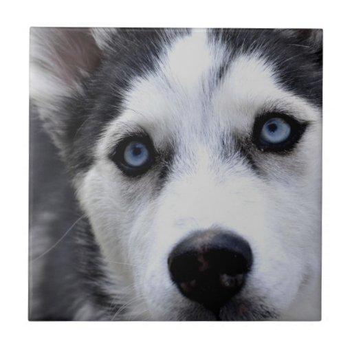 Blue Eyed Husky Tile