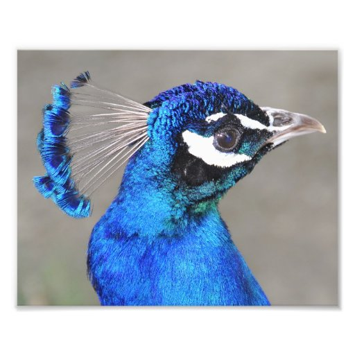Blue Eyed Peacock Photo Print