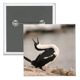Blue-Eyed Shag in nesting colony Petermann 2 Inch Square Button