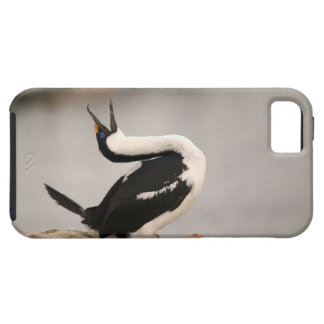 Blue-Eyed Shag in nesting colony Petermann iPhone SE/5/5s Case