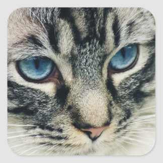 Blue-Eyed Tabby Cat Close-up Square Sticker