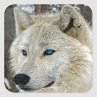 Blue Eyed White Wolf Square Stickers