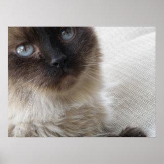 Blue Eyes Kitty Poster