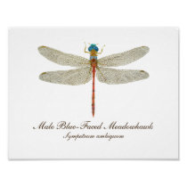 Blue-Faced Meadowhawk Dragonfly art Poster
