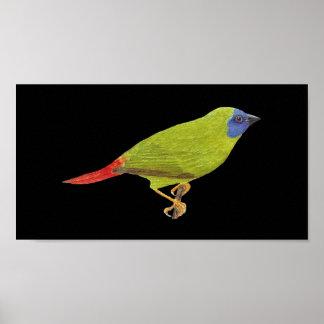 Blue-faced Parrot Finch - Erythrura trichroa Folio Poster