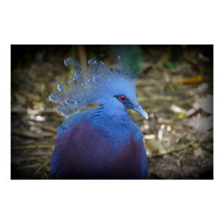 Blue Feathered Beauty Poster