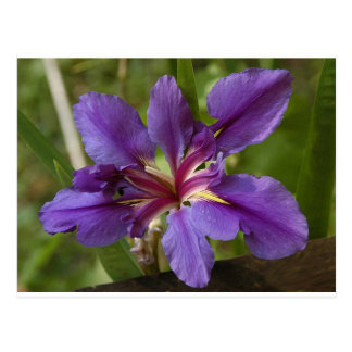 Blue Flag Iris Postcard