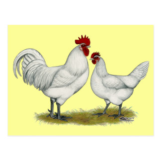 Blue Foot Chickens Postcard