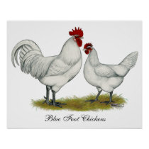 Blue Foot Chickens Poster