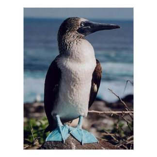 Blue-footed birdy poster
