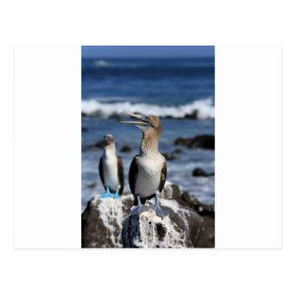 Blue footed Boobies Galapagos Islands Postcard