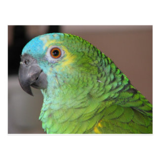 Blue Fronted Amazon Postcard