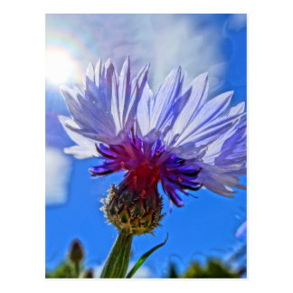 blue garden cornflower in sunlight postcard