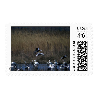 Blue Geese dropping in Postage Stamps