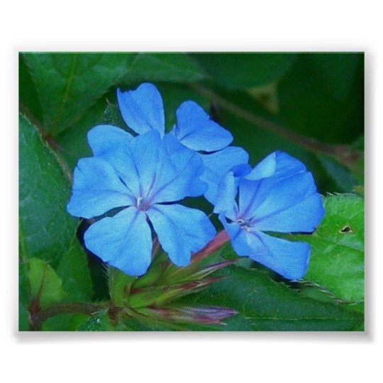 Blue Gentian (Gentiana Parryi) Poster