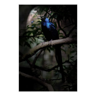 Blue glossy starling bird singing to life posters