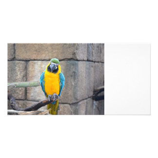 blue gold macaw on perch front view parrot photo greeting card