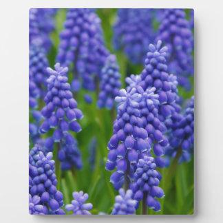 Blue Grape Hyacinths Photo Plaques