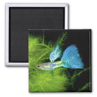 Blue Grass Guppy 2 Inch Square Magnet