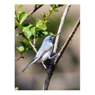 Blue Gray Gnatcatcher Bird Photo Postcard