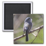 Blue-gray Gnatcatcher Magnets