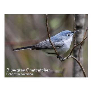 Blue-gray Gnatcatcher Postcard