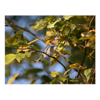 Blue Gray Gnatcatcher Postcard