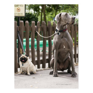 Blue Great Dane and pug dogs on leashes Post Card