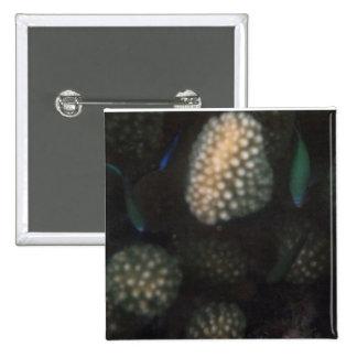Blue-green Chromis Chromis viridis Button