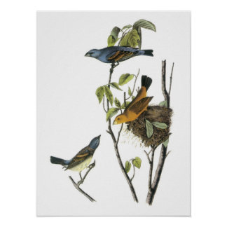 Blue Grosbeak by Audubon Poster