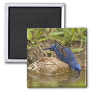 Blue Grosbeak drinking at backyard pond, 2 Inch Square Magnet