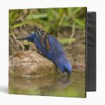 Blue Grosbeak drinking at backyard pond, Binders