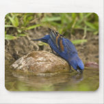 Blue Grosbeak drinking at backyard pond, Mouse Pad