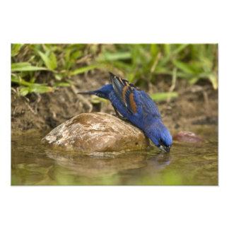 Blue Grosbeak drinking at backyard pond, Photographic Print