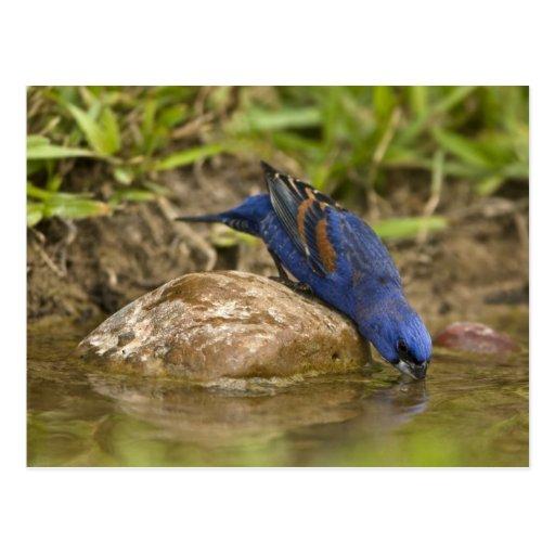 Blue Grosbeak drinking at backyard pond, Postcard