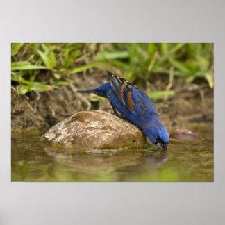 Blue Grosbeak drinking at backyard pond, Print
