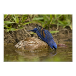 Blue Grosbeak drinking at backyard pond, Poster