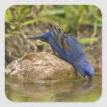 Blue Grosbeak drinking at backyard pond, Square Sticker