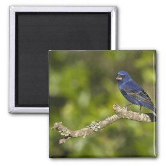Blue Grosbeak,Passerina caeulea, Coastal Bend, 2 Inch Square Magnet