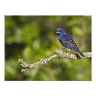 Blue Grosbeak,Passerina caeulea, Coastal Bend, Photo Art